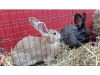 7 Beautiful Continental Giant Rabbits For Adoption