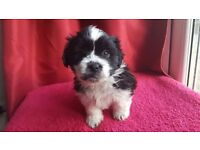 SHIH TZU CROSS PUPPIES FOR SALE READY THIS WEEK