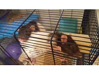 Two gorgeous friendly brother rats about 1 year old RRP from New £173