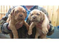 Gorgeous Dogue de Bordeaux pups for Sale