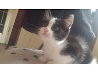 Beautiful very loving 9 weeks old male fluffy black and white kitten