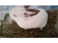 Rabbit female
