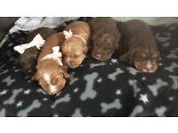 K. C reg cocker spaniel puppies