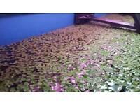 Floating aquarium and pond plants