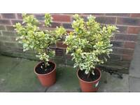 2 X GARDEN SHRUBS EUONYMOUS FORTUNEI ↔ IF READING THIS THEY WILL STILL BE FOR SALE