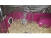 Winter white hamster with cage