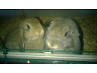 mini dwarf lop baby rabbits pure bred very tame and used to children, starter cage and starter kit