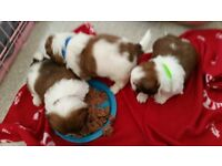 SHIH TZU pups for sale, 1 boys 1 girl (KC Reg)