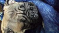 gorgeous Frenchie pug puppies