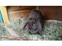 Choclate female lop bunny