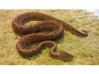 Royal pythons and snow cornsnake for sale