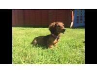 Miniature dachshund puppy - female