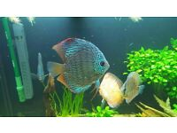 7 Discus Fishes included breding pair Need to sell have not time to look after
