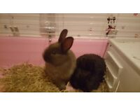 Selling Two Tiny Rabbits. 1 For £25 or 2 For £50