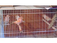 red mozaic canaries for sale