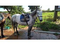 16.3h Gray mare for Share