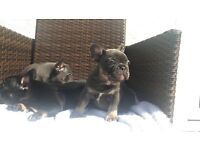 Top quality blue and Tan Black and Tan 7 weeks old French bulldog puppies