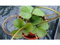 STRAWBERRY PLANTS - Healthy Plants in large pots.
