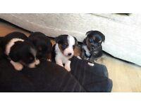 X4 yorkie cross jack russell puppies