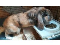 Gorgeous Ginger Rabbit For Sale