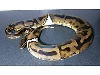 Royal Python Morph Piebald