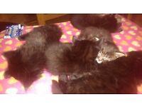 Cute, Black Kittens