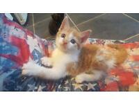 Gorgeous kittens Siamese x rag doll