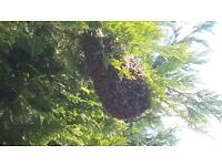 Honey bee swarm collection removal Woking, West Byfleet, Addlestone, Guildford