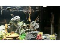 15 Guppy fish for sale