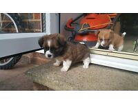 2 male jackahuahua puppies for sale £280 each