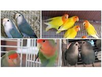 Top Lovebirds And Brand New Cages