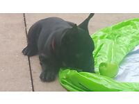 French Bulldog Pups Kc Reg Dark Blue Girl Ready