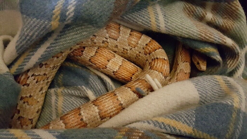 Corn Snake Vivarium And All Accessories Cave Heating Pad Water