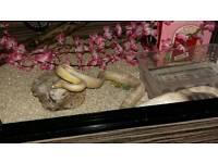Female Snow Corn Snake
