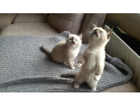 Beautiful Ragdoll kittens for sale.