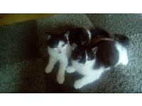 Beautiful kittens for salw. 8 weeks old.