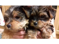 Gorgeous Pure Yorkshire Terrier Puppies with pedigree certificate