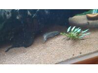 """6"""" rainbow dwarf snakehead"""