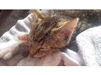 13 week male kitten