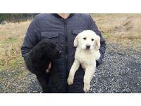 Labrador xgolden retriever puppies for sale