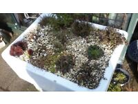 Sink compleat with alpine plants perfect for a garden.