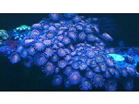 Marine aquarium corals zoas, gorgonians, candy cane.