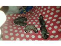 Lhasachug puppies