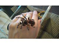Giant white knee tarantula