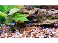 Selection of Tetras and Coridoras catfish