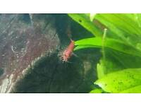 Red cherry shrimps 15 for £10