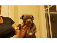 Kc registered Staffordshire Bull terrier puppy. Blue/white