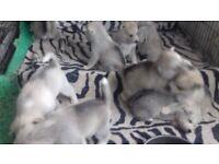 Pedigree Siberian Husky Puppies