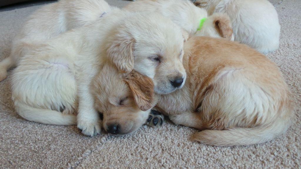 Golden Retriever X Labrador Puppies 1 Boy Left To Reserve In
