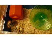 Roboroavski dwarf hamster